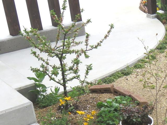 葉桜のユスラウメ
