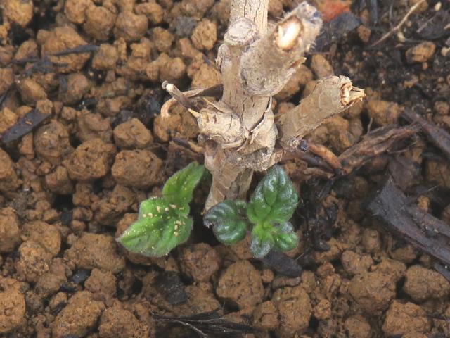 芽が出たヘリオトロープ