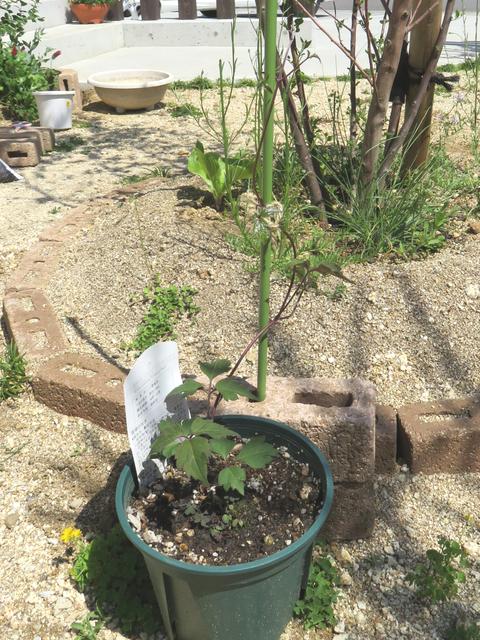 クレマチスの鉢植え