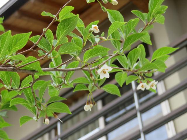 下から見上げたエゴノキの花