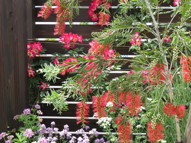 キンポウジュ・ブラシの木とカクテルの花