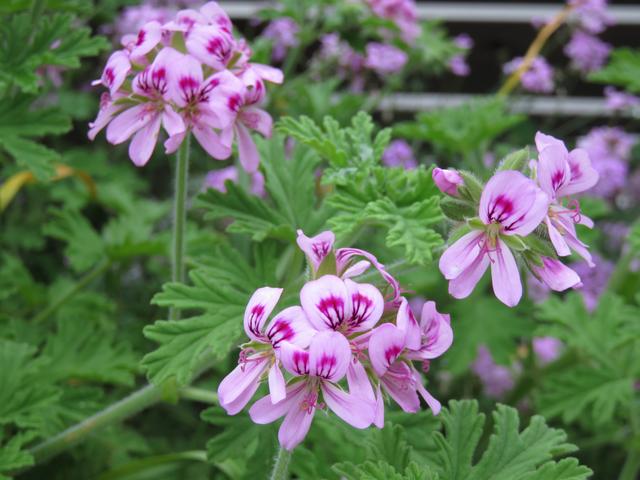 ローズゼラニウムの花