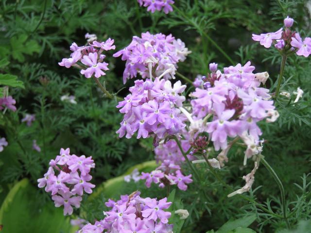 宿根バーベナの花