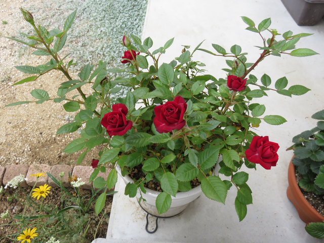 深紅のミニバラの花