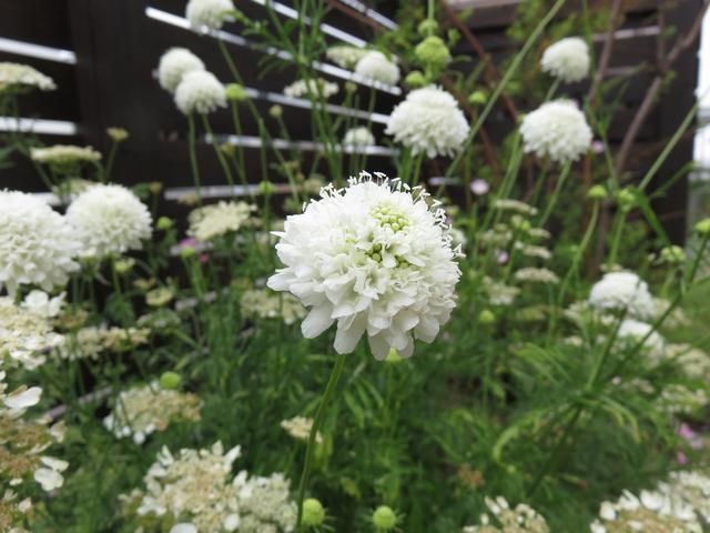 スカビオサ・スノーメイデンの花