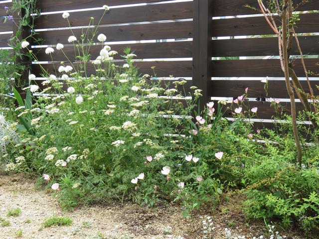 オルレアが茂った庭