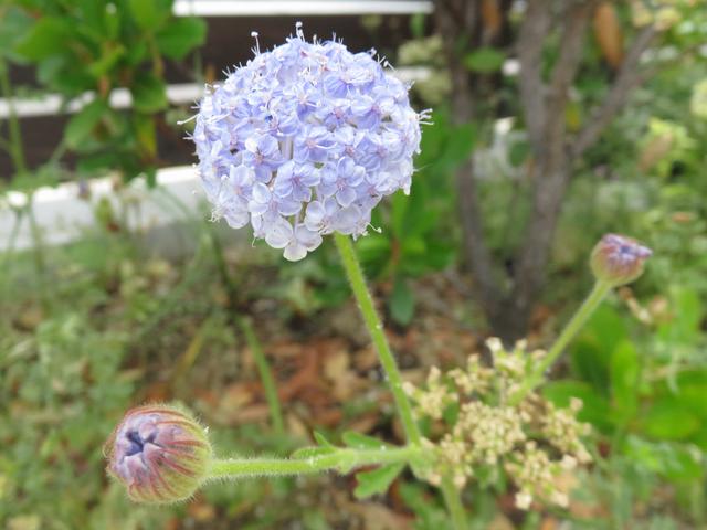 ディディスカスの開花