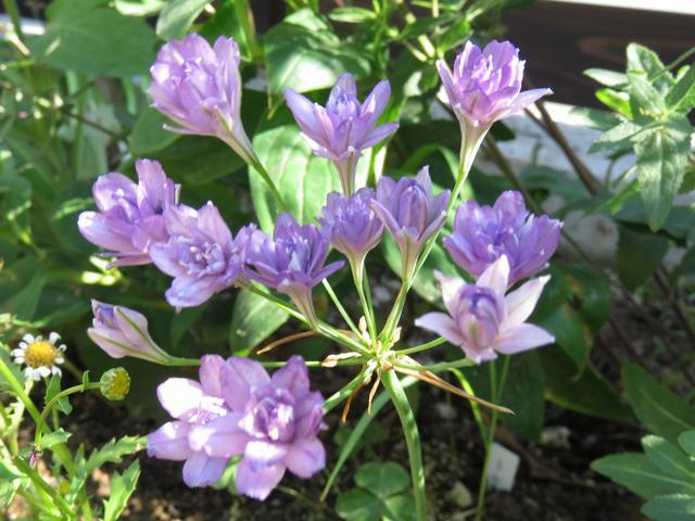 トリテレイアの花