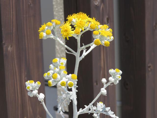 シロタエギクの花の画像