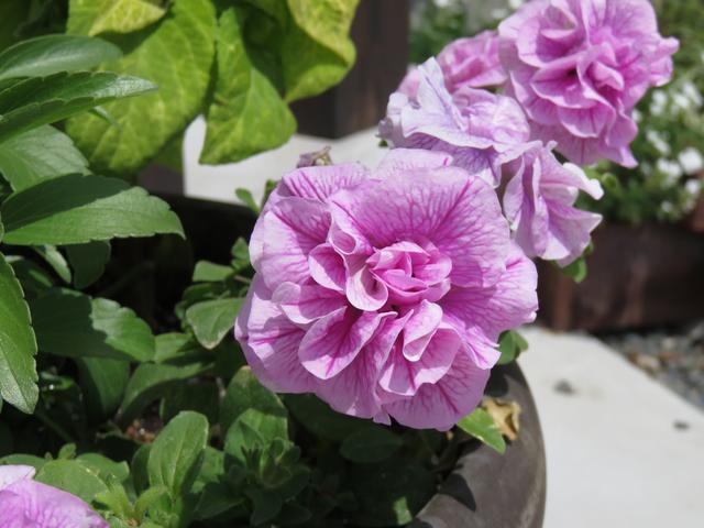 ペチュニアVIVAのピンクの花の画像