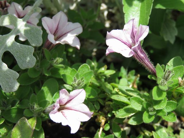 ミニチュニア・パープルの花の画像