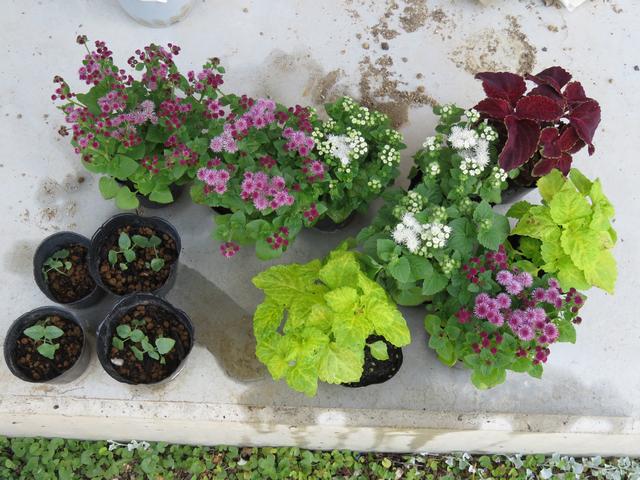 花壇用の苗の画像