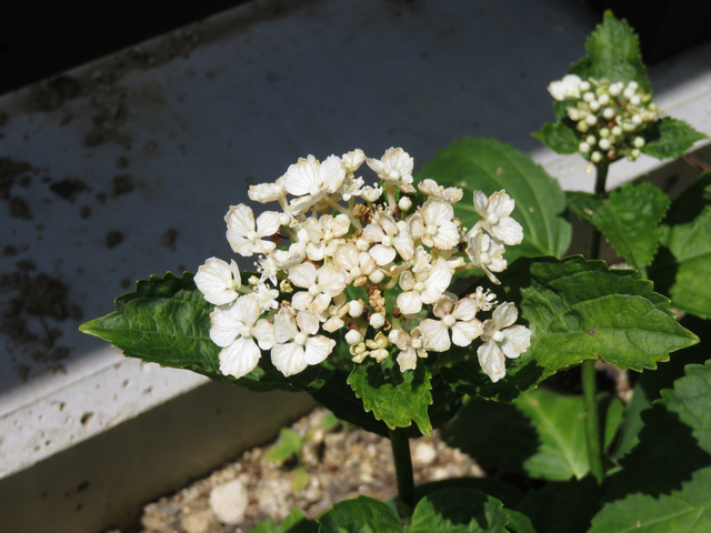 アジサイシュガーホワイトの花弱り気味