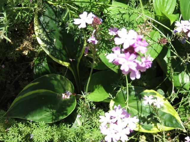 花影のギボウシ