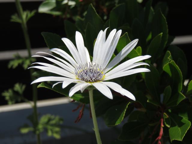 アークトチス・グランディス、ハゴロモギク、羽衣菊の花