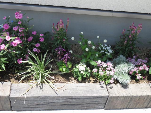 アゲラタムの花壇