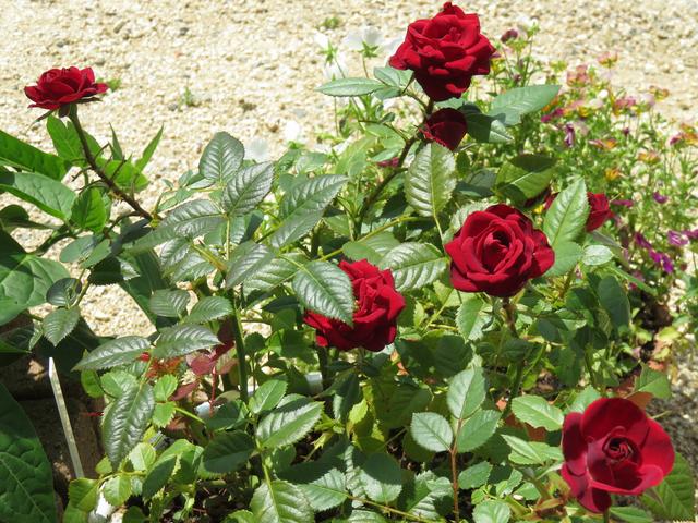 赤いミニバラの夏花