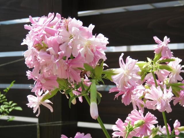 満開のソープワートの花