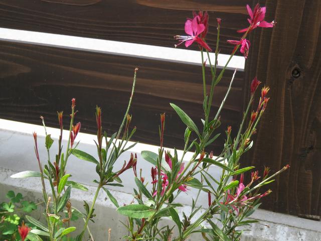 ガウラ小紅の花