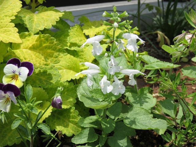 サルビア・ユキプルコの花