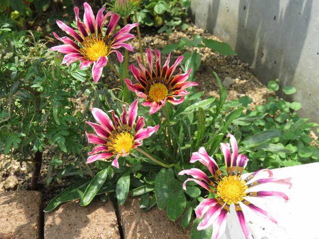 ガザニアの花