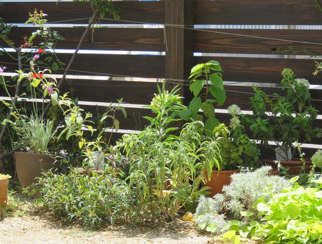 鉢植えを並べてみた