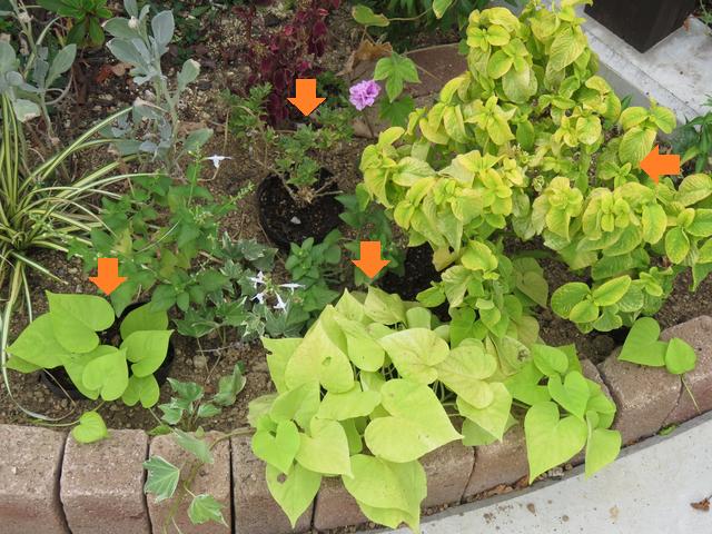コーナー花壇 植栽の説明コリウス イポメア