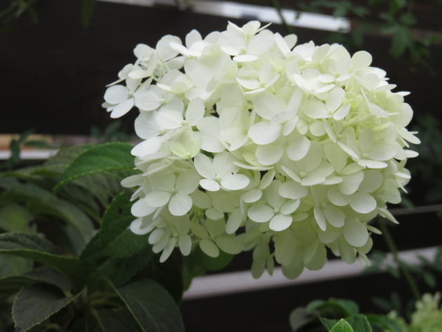 ノリウツギ リトルライムの花