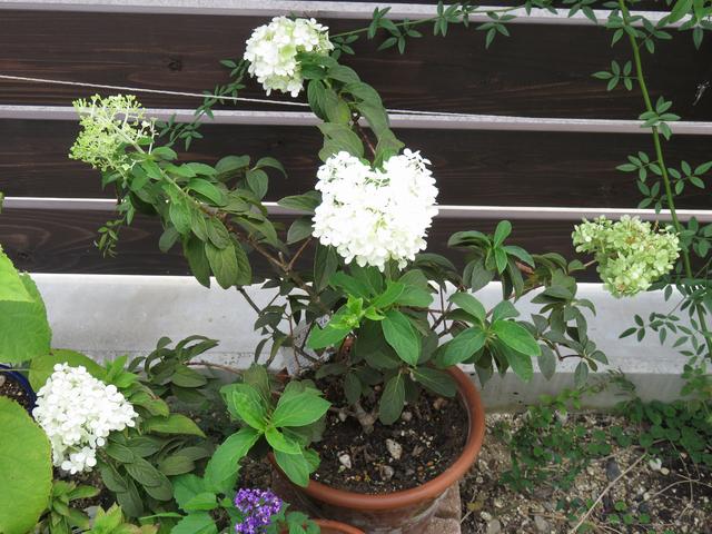 ノリウツギの鉢植え