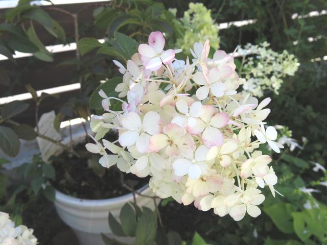 ピンクに色づくノリウツギの花