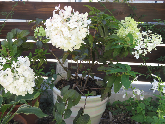 ノリウツギリトルライムの鉢植え