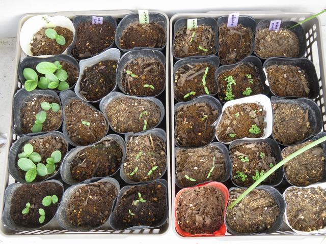 秋まき種ボリジ、クラーキアプルケラ、ディディスカス、ジギタリス、スカビオサの画像