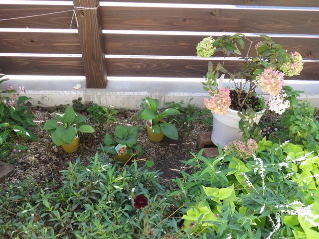 ジギタリスの苗を並べた画像