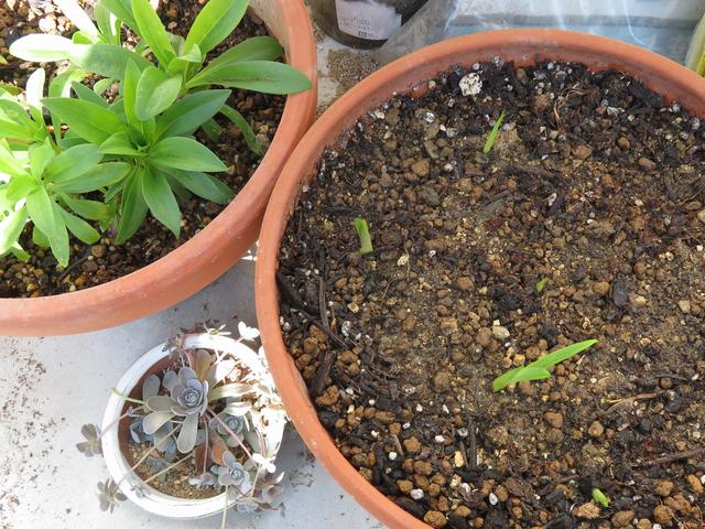 鉢植えのフリージアの画像