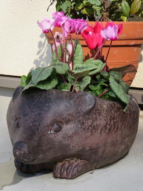 ハリネズミの鉢に植えたシクラメンの画像