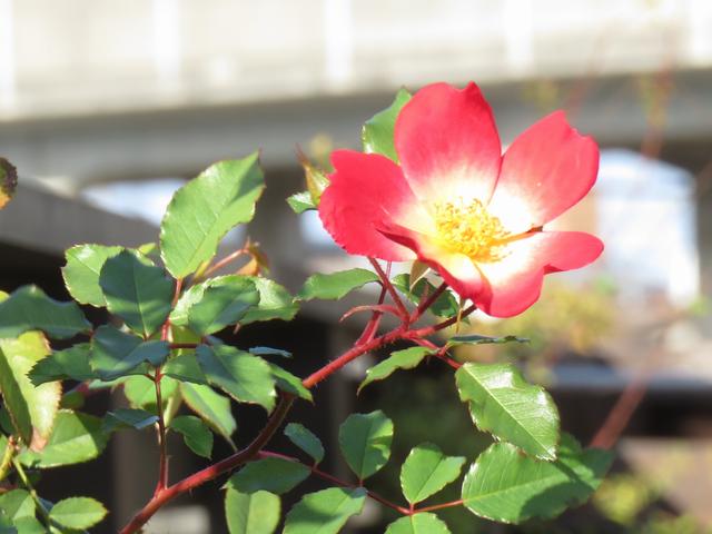 秋に咲いたカクテルの花の画像