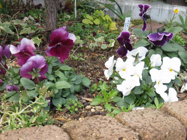 紫色のパンジーと白いビオラが咲いている様子