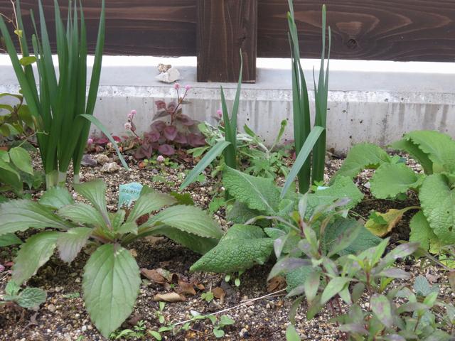 ジギタリスの苗と水仙の葉っぱ