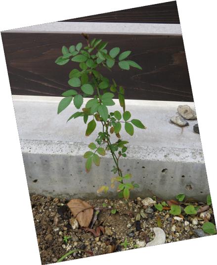 モッコウバラのこぼれ種から生えた苗