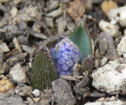 ムスカリアズレウムの芽のアップ