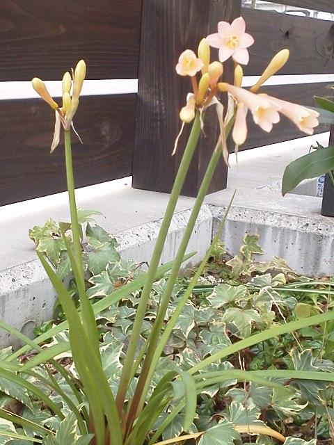 笛吹水仙 キルタンサスの花の画像