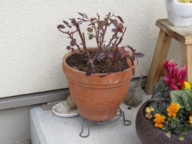 剪定したミニバラの鉢の画像