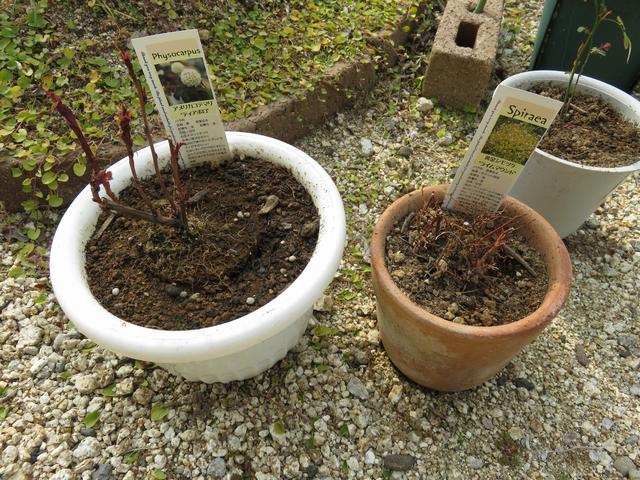 鉢植えの苗 アメリカテマリシモツケ・ディアボロ、黄金シモツケ の画像