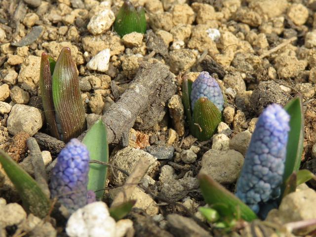 土から顔を出したムスカリ・アズレウムのつぼみの画像