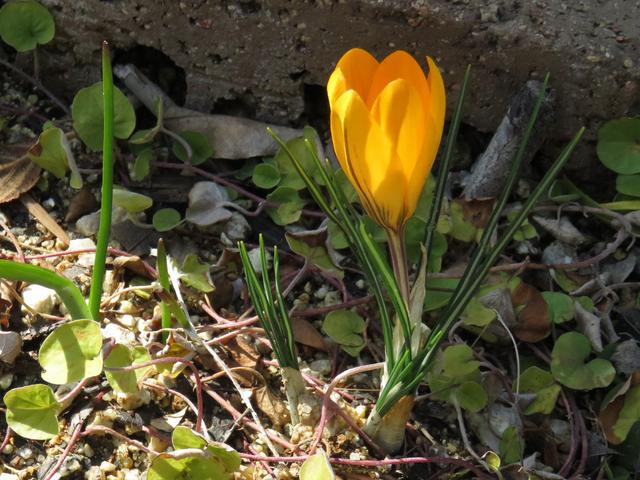 黄色い花をつけたクロッカスの画像