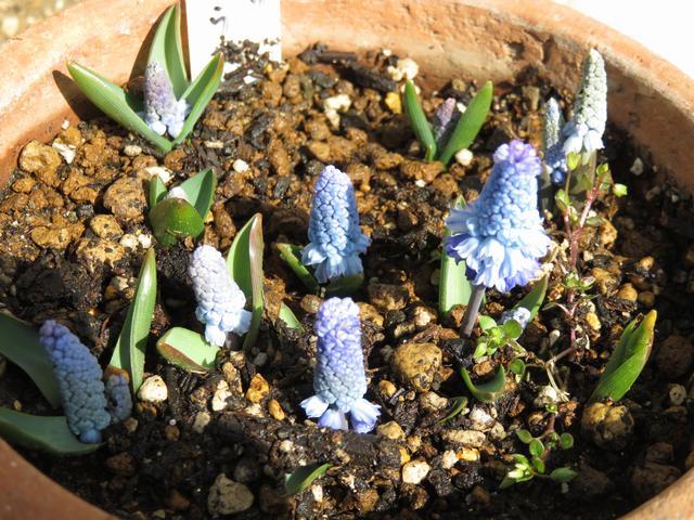 1分咲きのムスカリ・アズレウムの画像