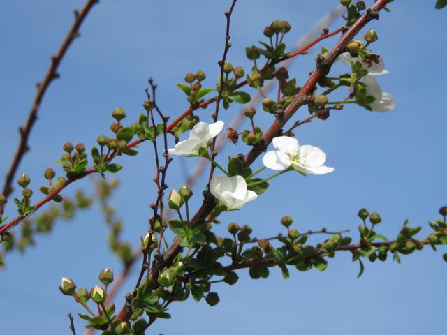 一分咲きのユキヤナギの枝の画像