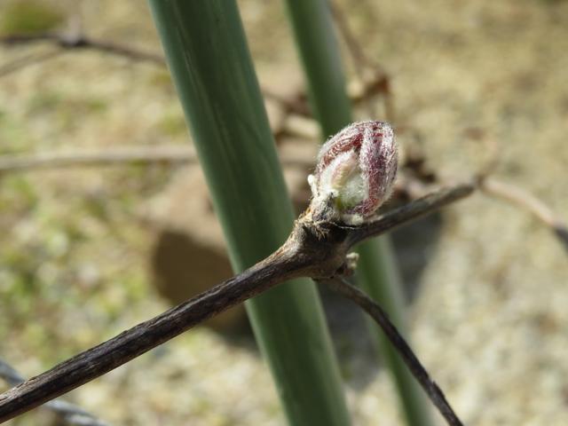 クレマチスの新芽の画像