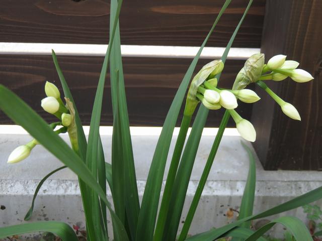 日本水仙の蕾の画像