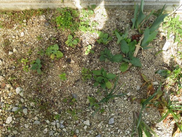 ジギタリスなどまばらに植えられた苗の画像